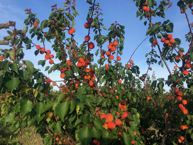 fruitboomgaard oost-algarve