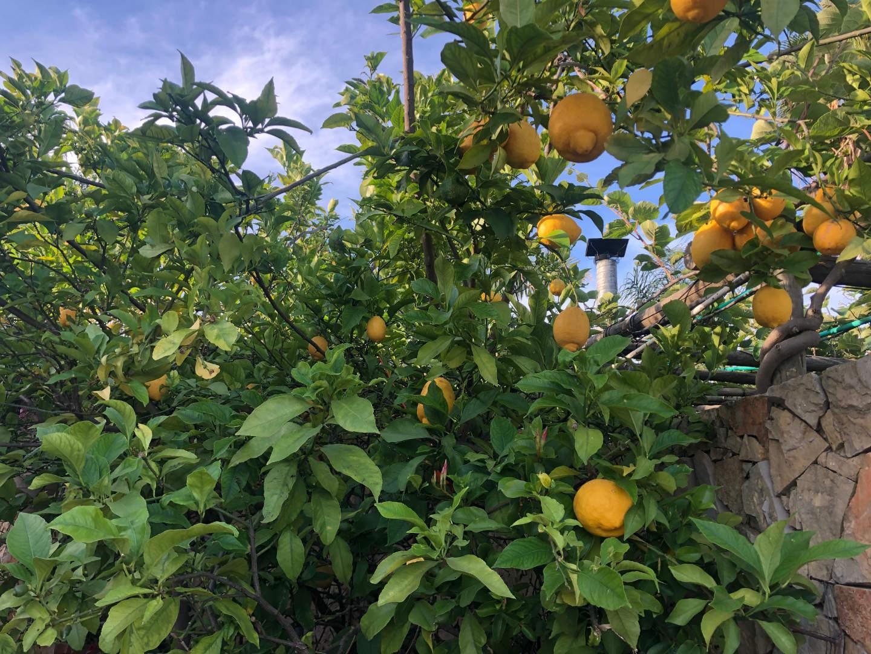 Fruitboomgaard oost-algarve citroen