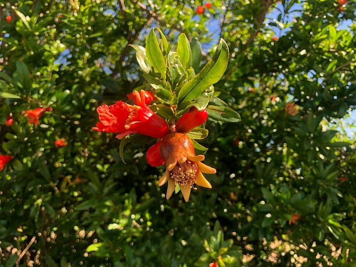 Fruitboomgaard oost-algarve granaatappel