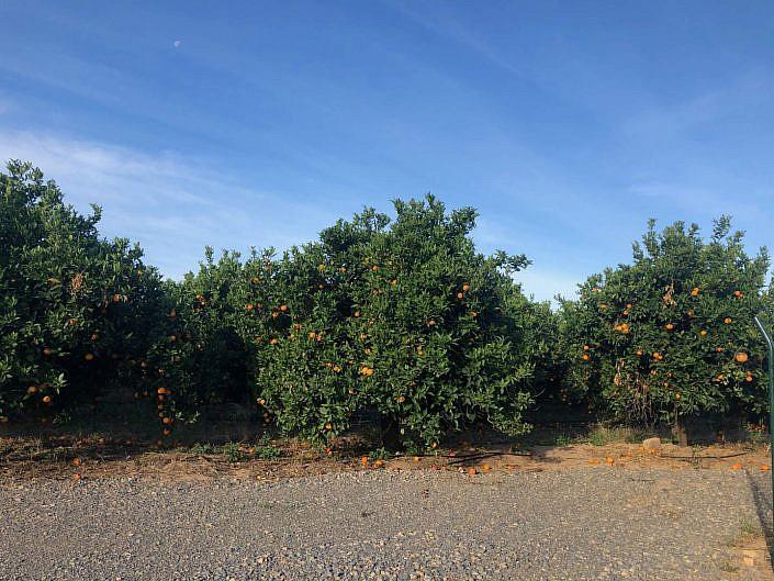 Fruitboomgaard oost-algarve sinasappel