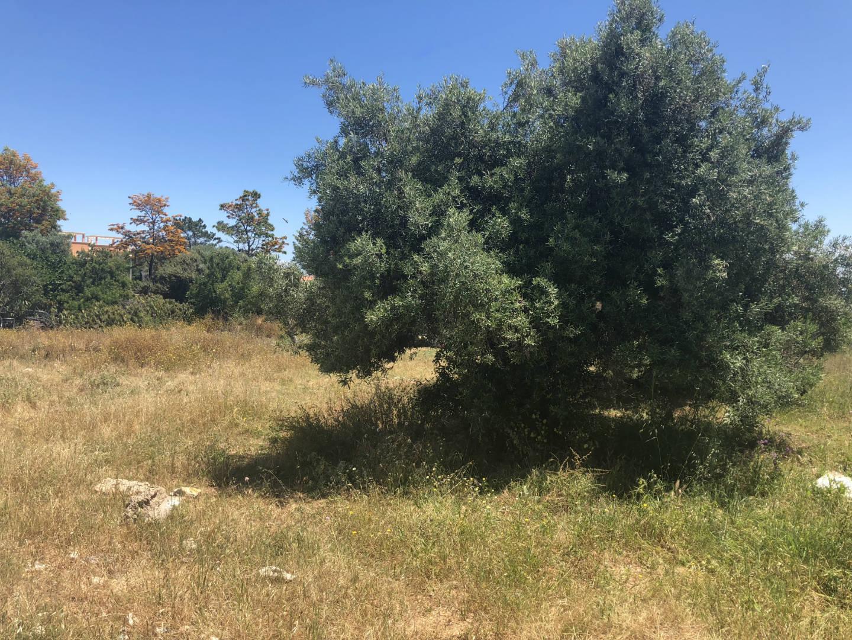 plot fuseta olijfboom