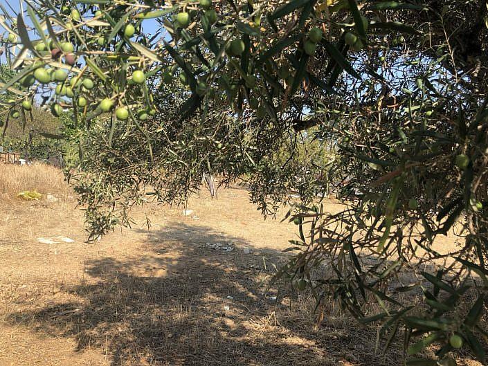 Plot_fuseta_olijfboom