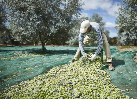 monte rosa olijfolie