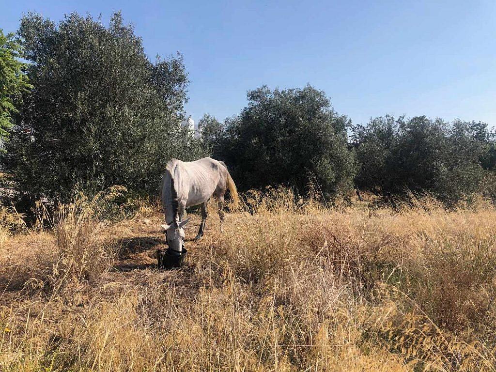 cavalo cigano