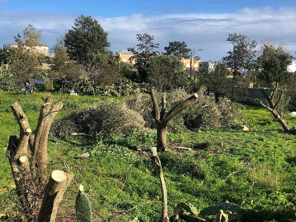 olijfbomen gesnoeid